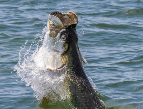 Tarpon season is approaching fast in Fort Myers